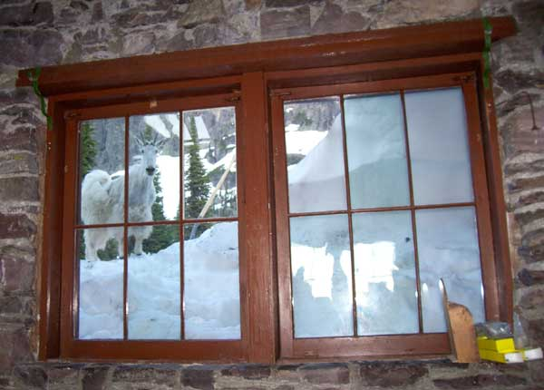 Mountain goat and snow out the Sperry dining room window.